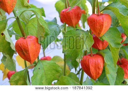 Physalis alkekengi is a relative of P. peruviana (Cape gooseberry). It is easily identifiable by the large bright orange to red papery covering over its fruit