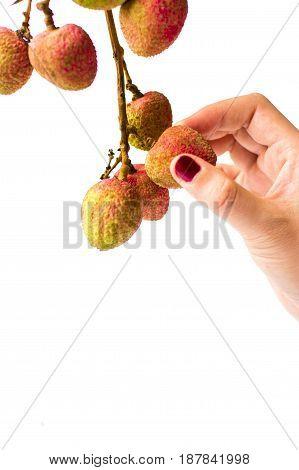 Female Hand Picking Lychee Fruit