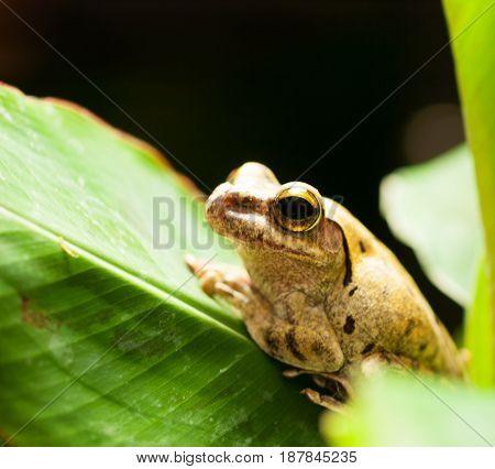 White lipped Tree frog on the green leaf - Rhacophorus Leucomystax