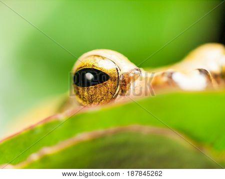 Eye of White lipped Tree frog - Rhacophorus Leucomystax