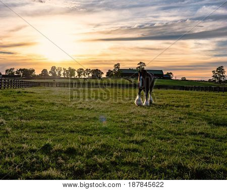 Draft horse in a pasture on a Kentucky horse farm with sun flare at sunset