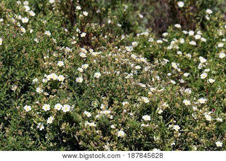 Flower of a Montpellier cistus (Cistus monspeliensis)