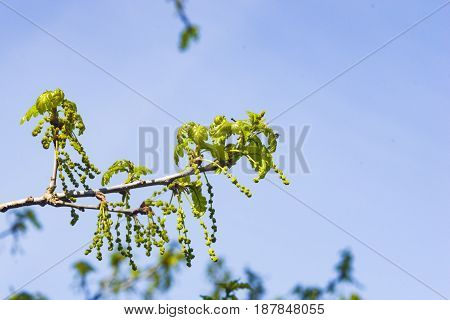 Blossom of English Oak Tree or Quercus robur with male flowers against sky close-up selective focus shallow DOF.