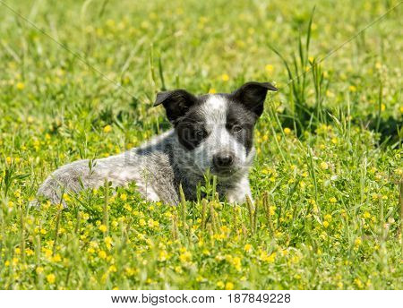 Young Texas Heeler puppy in yellow clover, looking at the viewer