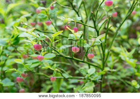 Blooming blueberry in the forest . Natural background. Vaccinium myrtillus. Soft focus