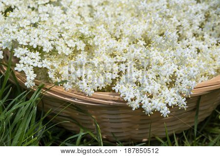 White Elder Flowers In A Wicker Basket