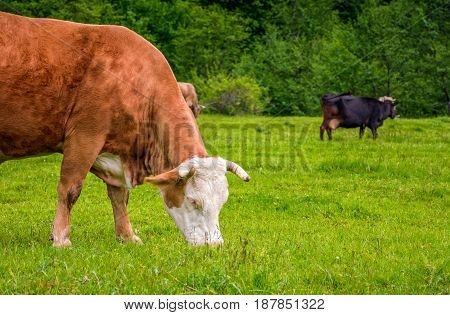 Rufous Cow On A Meadow Near The Forest