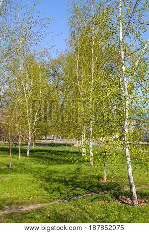 Alley With Young Birch Trees In A Park On Spring