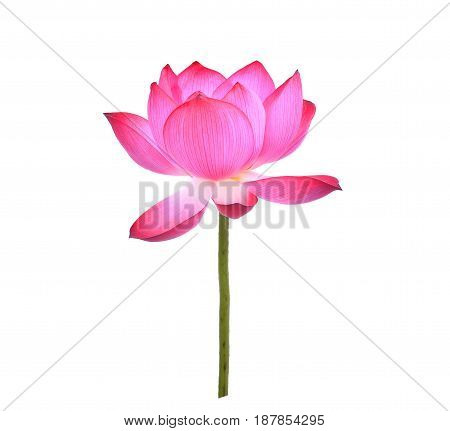 lotus petal flower isolated on white background