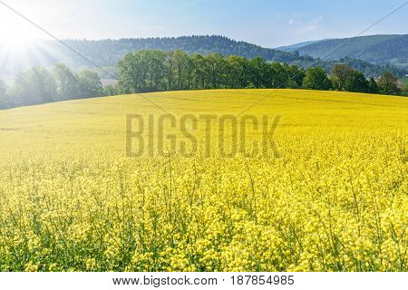 Beautiful agricultural background - blooming canola on a sunny day against a background of green trees and a blue sky
