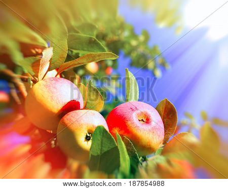 Red Apples And Leaves On Blue Sky. Toned Image. Motion Blur Effect.