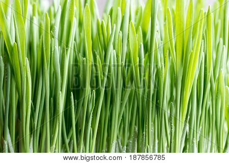 Young Green Barley Grass Growing In Soil