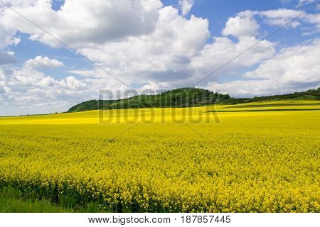 Blooming Oil Seed Rape Field with blue cloudy sky. Nature landscape