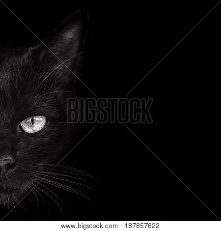 the dark muzzle cat close up. front view