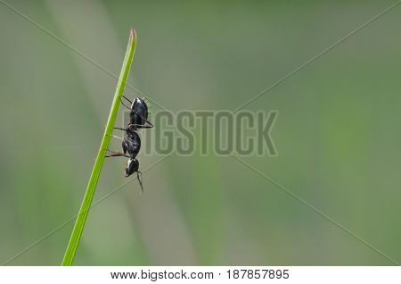 Black ant exploring in grass in the morning. Ant warrior in green grass