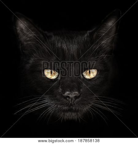 the dark muzzle cat close-up. front view