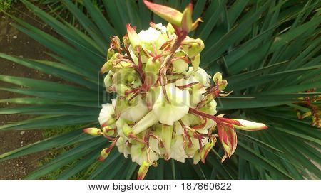 Bush yucca blossomed in the park Riviera with Sochi