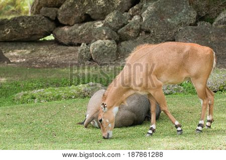Bluebuck Antelopes In The Zoo, Color Image, Toned Image