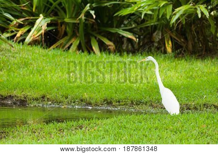 Great Egret  In The Zoo, Color Image, Toned Image