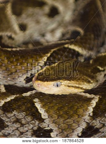 Fer-de-lance  In The Zoo, Color Image, Toned Image