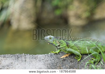 Green Iguana  In The Zoo, Color Image, Toned Image
