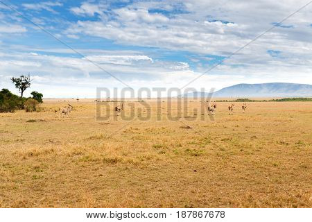 animal, nature and wildlife concept - eland antelopes herd grazing in maasai mara national reserve savannah at africa