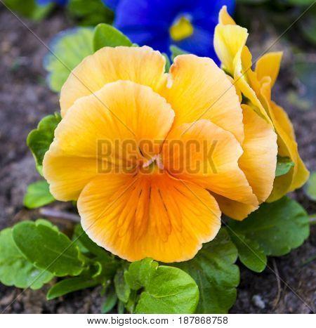 violet flower. Pansies. flower Pansy. Colorful pansies. Orange pansies