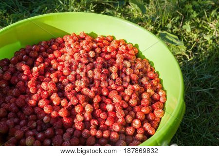 Sunlit Berries Of Ripe Red Wild Strawberry In Green Bucket On Grass.
