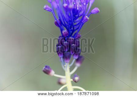 Detail of a tassel hyacinth flower (Muscari comosum).