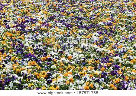Colourful flowerbed made of white orange and purple pansies growing outdoor