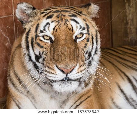 A tiger facing the camera sowing no interest at all.