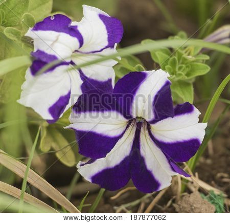 Close-up detail of a purple and white striped pansy flower petals and stigma in garden