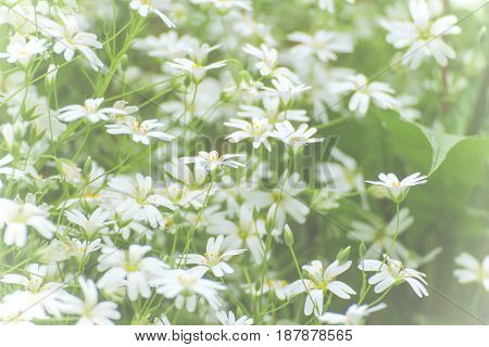 Texture white small flowers. White flower in bloom. A perfect spring...