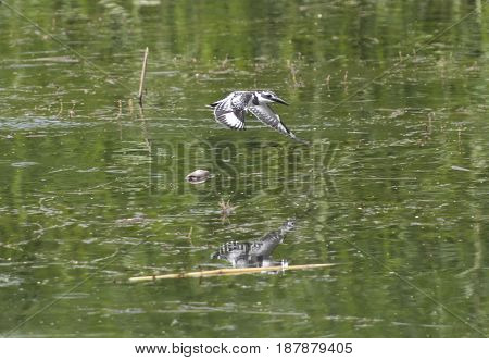 Pied Kingfisher Ceryle Rudis Flying Over River Water