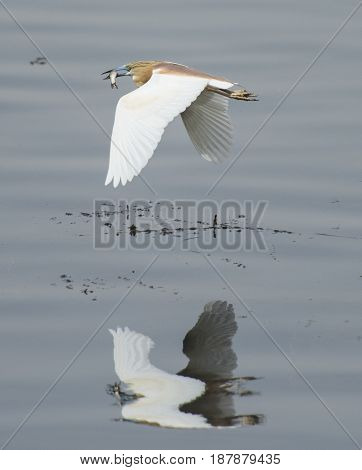 Squacco Heron Flying Over River Water