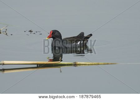 Moorhen Swimming On River Water With Reflection