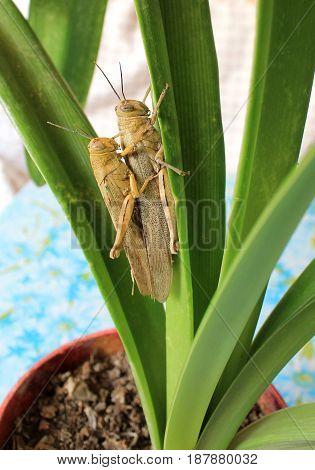 Two locusts on a green amaryllis leaf