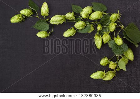 Hop branch with leaves and fruit isolated on dark concrete background from above.