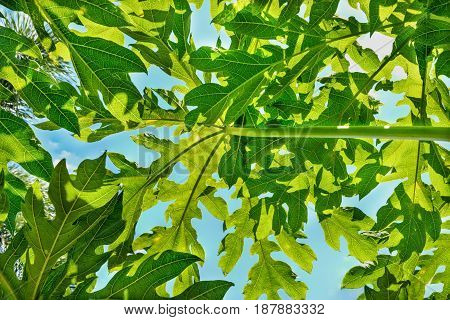 Green leaves background from below to sky through papaya leaves. Papaya leaves is single leaf and alternate around the top. It has palm shaped, 7-11 concave. The tip of the pointed. The leaf edge is serrated like a sawtooth. The petiole is a long hollow t