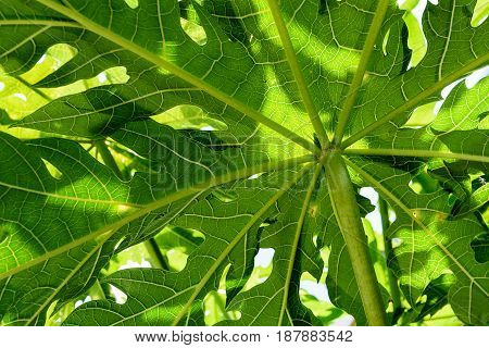 Green leaves background papaya leaves closeup  Papaya leaves is single leaf and alternate around the top. It has palm shaped, 7-11 concave. The tip of the pointed. The leaf edge is serrated like a sawtooth. The petiole is a long hollow tube. The sorting l