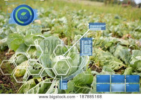 vegetable, gardening and organic farming concept - cabbage growing on summer garden bed at farm