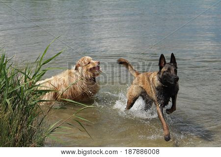 Australian shepherd and Malinois shepherd who jump into the water
