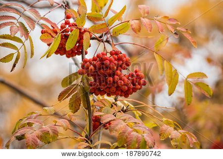 Ripe bunches of Rowan berries on tree in autumn