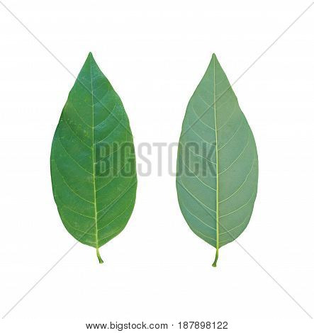 Green leaves of tropical trees in Thailand and have clipping paths to easy deployment.