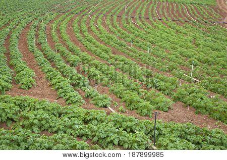 Potato Field On Gran Canaria