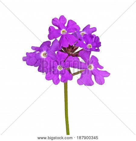Multiple purple flowers of a verbena cultivar isolated against a white background
