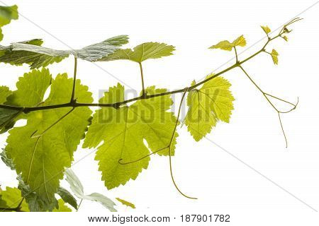 Young Grapevine Isolated