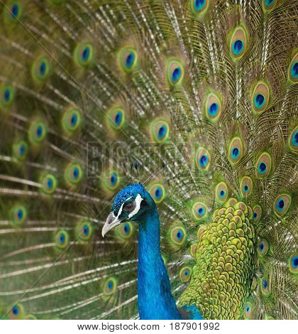 Common Male Peacock Displaying