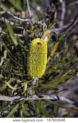 Acorn banksia – Endemic wild flower in Western Australia at Perth region