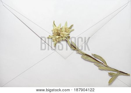 Dried edelweiss flower on white envelope, close-up
